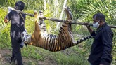 Petugas menggotong bangkai harimau Sumatera  (Panthera tigris sumatrae) yang ditemukan mati di kawasan perkebunan masyarakat di Kecamatan Trumon, Kabupaten Aceh Selatan, Aceh, Senin (29/6/2020). Harimau Sumatera tersebut diduga mati akibat diracun. ANTARA FOTO/Hafizdhah/Lmo/pras.
