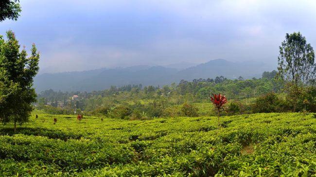 Gunung Mas Tea and Coffee Plantation on a sunny day on Java, Indonesia