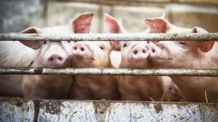Epidemiolog Respons Flu Babi G4 Bisa Menular Antar Manusia