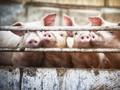 Malaysia Bakal Musnahkan 3.000 Babi Akibat Wabah Flu Afrika