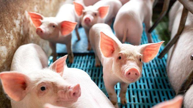 Salah satu cara agar aman dari penularan virus nipah adalah menghindari babi atau kelelawar yang terinfeksi.