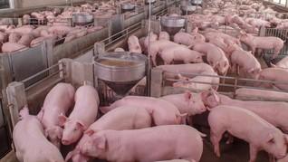 Virus Flu Babi, Kementan Klaim Perketat Lalu Lintas Hewan