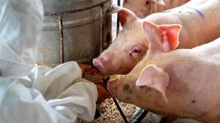 Kementan Klaim Tengah Uji Coba Vaksin Pencegahan Flu Babi
