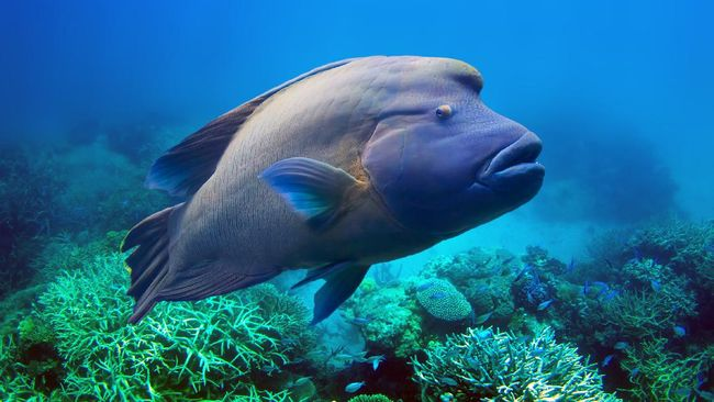 Ikan Napoleon Raksasa Penjaga Terumbu Karang Muncul Di Riau
