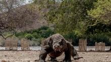 Beda Pandangan Ahli soal Mitos Air Liur Komodo Beracun