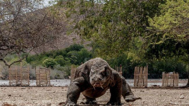 Netizen ramai bicarakan keprihatinan Jurassic Park di Taman Nasional Komodo lewat tagar #SaveKomodo yang dianggap bisa mengganggu habitat hewan itu.