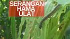 VIDEO: Ribuan Ulat Serbu Tanaman Jagung, Petani Resah