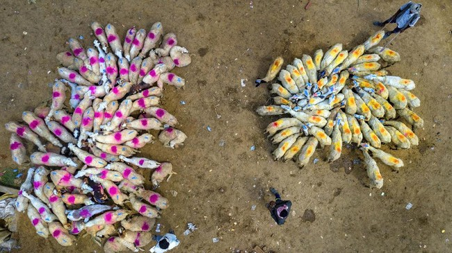 Flocks of sheep are brought to a market for sale on the outskirts of Fatehpur, India, Saturday, June 27, 2020. The sellers mark their sheep with differant colors for identification. (AP Photo/Rajesh Kumar Singh)