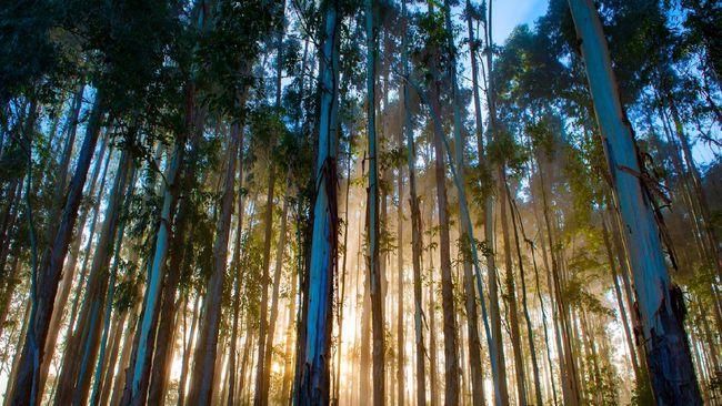 pohon kayu putih