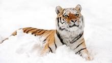 Penjaga Kebun Binatang Swiss Tewas Diterkam Harimau Siberia