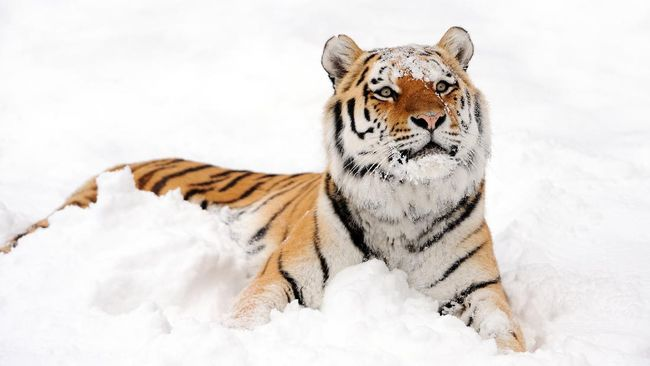 a siberian tiger lying  in the snow