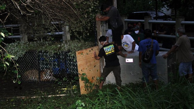 Petugas memindahkan harimau Sumatra liar sebelum proses lepasliar di Concervation Respomse Unit (CRU) Desa Naca, Trumon Tengah, Aceh Selatan, Provinsi Aceh.