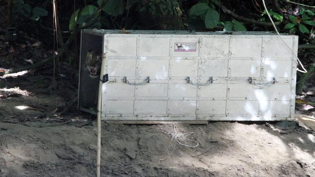 Harimau Sumatra liar yang diberi nama IDA berada didalam kerangkeng besi saat proses pelepasliaran di kawasan Taman Nasional Gunung Leuser (TNGL) yang berdampingan dengan Kawasan Ekosistem Leuser, Provinsi Aceh.