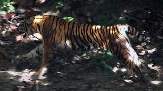 Makan Ternak, Harimau Sumatera Ditangkap dalam Kondisi Kurus