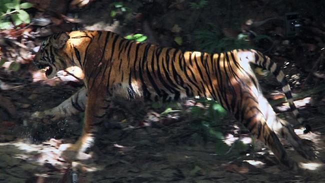 Harimau Sumatra liar yang diberi nama IDA berlari keluar dari kerangkeng besi saat proses pelepasliaran di kawasan Taman Nasional Gunung Leuser (TNGL) yang berdampingan dengan Kawasan Ekosistem Leuser, Provinsi Aceh.