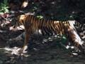 Harimau Muncul, Pendakian Gunung Sibayak Ditutup Sementara