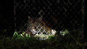 FOTO: Melepasliarkan Harimau Sumatra IDA ke Hutan Leuser Aceh