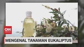 VIDEO: Mengenal Tanaman Eukaliptus