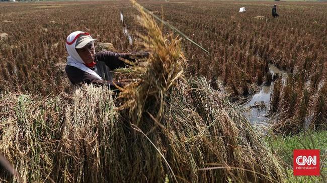 Petani memanen padi di persawahan Tarumajaya, Kabupaten Bekasi, Jawa Barat, Selasa, 7 Juli 2020.  Sektor pertanian di Indonesia diharapkan siap menyambut era 4.0. CNNIndonesia/Safir Makki