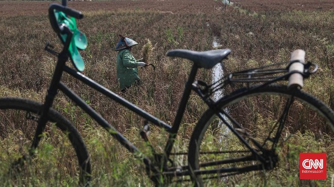 Petani memanen padi di persawahan Tarumajaya, Kabupaten Bekasi, Jawa Barat, Selasa, 7 Juli 2020. Kepala Badan Ketahanan Pangan Kementan Agung Hendriadi memastikan hingga akhir tahun 2020 keterseeiaan pangan Indonesia masih mencukupi. CNNIndonesia/Safir Makki