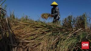 FOTO: Musim Panen Padi di Bekasi