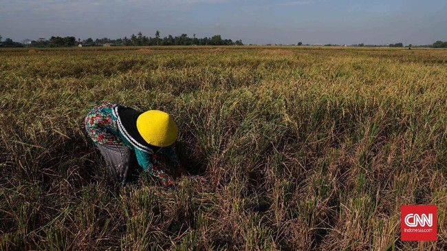 Petani memanen padi di persawahan Tarumajaya, Kabupaten Bekasi, Jawa Barat, Selasa, 7 Juli 2020. Kementan melalui direktorat jenderal prasarana dan sarana pertanian menyiapkan ribuan unit alat mesin pertanian untuk memaksimalkan musim tanam II tahun 2020. CNNIndonesia/Safir Makki