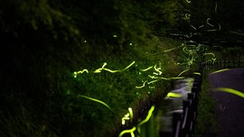 Tatsuno, Kota di Jepang yang Bermandikan Cahaya Kunang-kunang