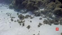 VIDEO: Peneliti Temukan Rumput Laut 'Serang' Terumbu Karang