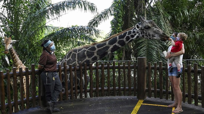 A child carried by the mother feeds the giraffe in an enclosure at the Singapore Zoo in Singapore on July 6, 2020, on its first day of reopening to the public after the attraction was temporarily closed due to concerns about the COVID-19 novel coronavirus. (Photo by Roslan RAHMAN / AFP)