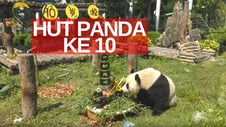 VIDEO: Panda Jinhu Rayakan Ultah Ke-10