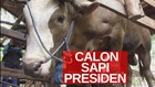 VIDEO: Calon Sapi Kurban Presiden Jokowi