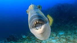 LIPI: Ikan Bergigi Mirip Manusia Banyak di RI, Bisa Dimakan