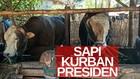 VIDEO: Presiden Jokowi Beli 2 Sapi untuk Idul Adha