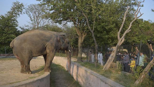 Media representatives take video and photographs of Elephant Kaavan as it stands behind a fence at the Marghazar Zoo in Islamabad on July 18, 2020. - A Pakistani court approved the relocation of a lonely and mistreated elephant to Cambodia on July 18 after the pachyderm became the subject of a high-profile rights campaign backed by music star Cher. (Photo by Farooq NAEEM / AFP)