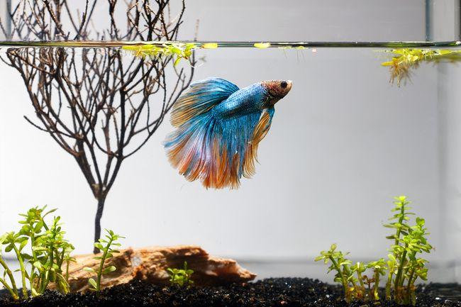 6 Manfaat Pelihara Ikan Cupang Yang Jarang Diketahui