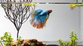 5 Jenis Ikan Cupang Termahal dan Populer di Indonesia