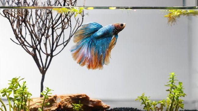 Cara Ternak Dan Budidaya Ikan Cupang Untuk Pemula