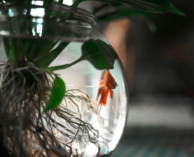 Hiasan Indoor Aglonema Hidroponik Bersama Ikan Cupang