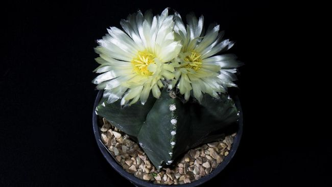 Pemilik kaktus harus mengetahui dasar-dasar cara merawat tanaman hias kaktus, terlebih jika ingin memeliharanya di dalam ruangan.