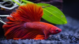 Jenis-Jenis Ikan Cupang Hias yang Mudah Dipelihara