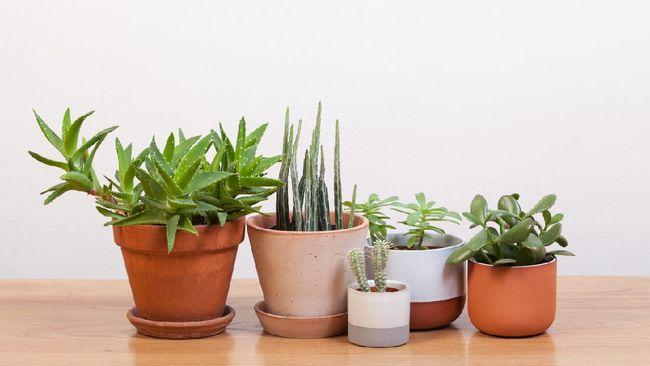 Selain menjadi pemanis ruangan, ada juga manfaat sukulen bagi kesehatan. Berikut rekomendasi 7 jenis sukulen indoor dengan bentuk unik dan menarik.