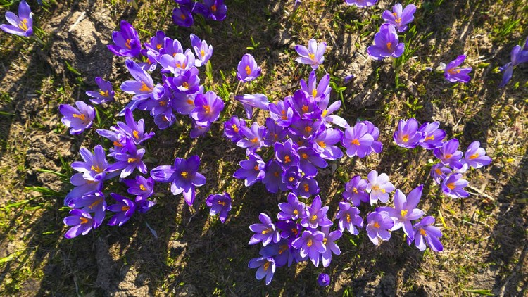 Purple Saffron,  crocuses flowerbed with green grass as background on Big Pasture Plateau Velika Planina. It is springtime symbol as flowers are coming out with melting of snow. It is in the Kamnik–Savinja Alps northeast of Kamnik, at about 1500 meters above sea level. Slovenia.