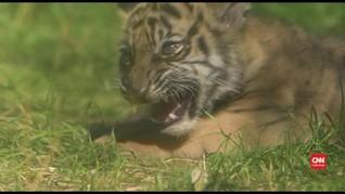 VIDEO: Harimau Sumatera Betina Lahir di Polandia