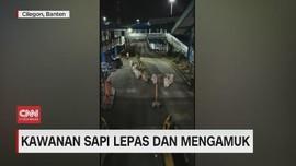 VIDEO: Kawanan Sapi Lepas dan Mengamuk