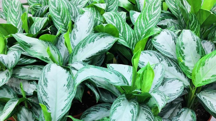 White Green Leaves of Aglaonema Plants as Texture Background. Aglaonema flowers