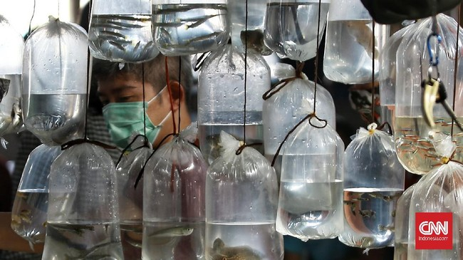 Memelihara ikan hias jadi salah satu hobi di tengah pandemi. Pasar ikan hias di Parung merupakan sentra penjualan yang acap disambangi para pecinta ikan hias.