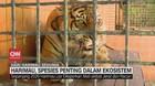 VIDEO: Harimau, Spesies Payung dalam Ekosistem