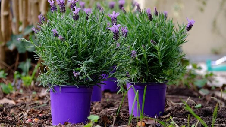 Lavender plant in a flowerpot.