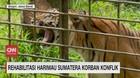 VIDEO: Rehabilitasi Harimau Sumatera Korban Konflik