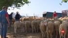 VIDEO: Warga Aljazair Takut Potong Hewan Kurban